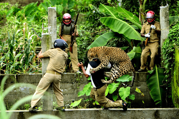 Une attaque de léopard, en Inde, à Mahananda Wildlife.