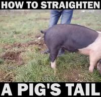 Les cochons et leur queue en tire-bouchon