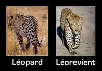 Léopard...