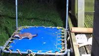 La belette et le trampoline