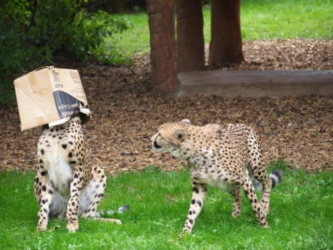 Deux chats, un carton.