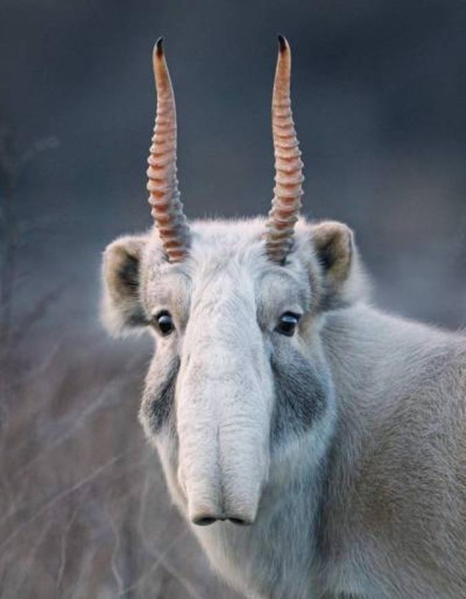 Le saïga est la seule antilope d'Eurasie, vivant dans les parties vallonnées de l'Europe de l'est et de l'Asie. Il a quasiment disparu en Europe de l'Ouest, bien que des peintures rupestres le représentent et des ossements ont été retrouvés dans des grottes. Il est aujourd'hui un des animaux en voie critique d'extinction en Europe et Asie occidentale. (photo de Tim Flach pour l'exposition 'Endengered')