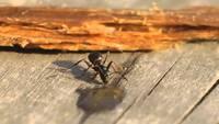 Une fourmi bourrée