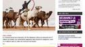 Des chameaux disqualifiés d'un concours de beauté pour triche au botox