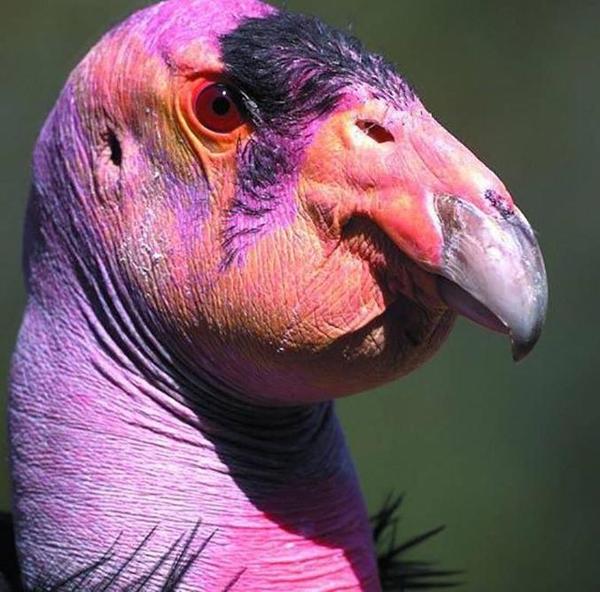 Le vautour, un fossoyeur de la nature.
