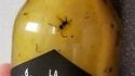 Une fourmi rouge au départ, je suppose...
