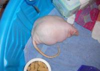 Rat obèse
