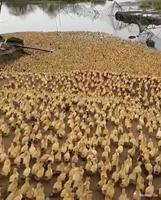 Invasion de canards
