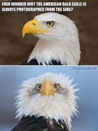 Pourquoi l'animal emblématique des États-Unis est toujours photographié de profil ?