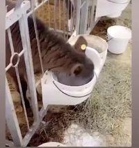Qu'est ce qu'elle boit la vache ?
