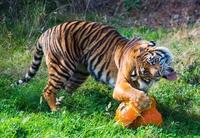 Un tigre heureux d'attaquer son repas végétarien