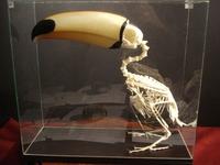 Avez-vous déjà vu un squelette de toucan ?