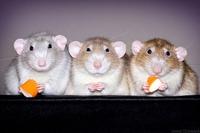 Trois rats