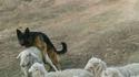 Un chien de berger