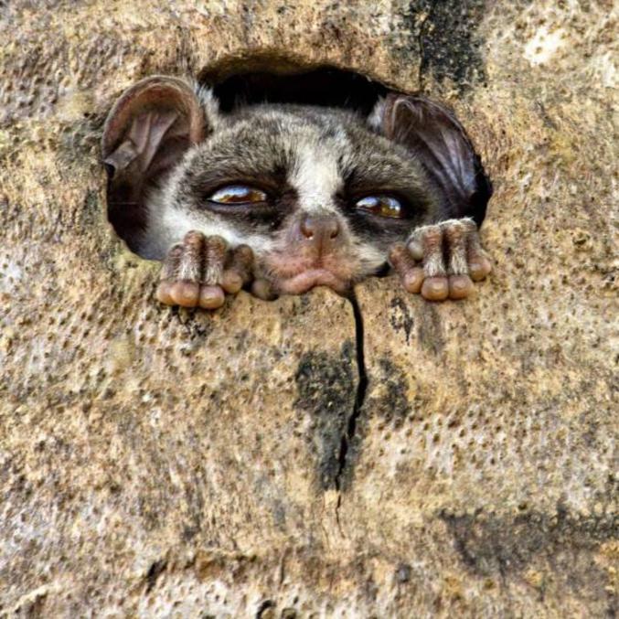 un bébé galago dans son trou. les Galagos sont de petits primates qui possèdent une queue plus longue que le corps, au bout touffu et pouvant aller jusqu'à 30 centimètres. Sur leur face large se remarquent deux petites oreilles pointues et deux grands yeux noirs globuleux. Les galagos peuvent mesurer de 20 à 80 centimètres et sont pourvus d'une fourrure laineuse et molle d'une teinte grisâtre ou brunâtre. Leur regard est fixe. Leurs pattes munies de griffes très solides leur servent à monter facilement et agilement aux arbres.