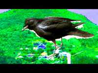 Le corbeau du cimetière