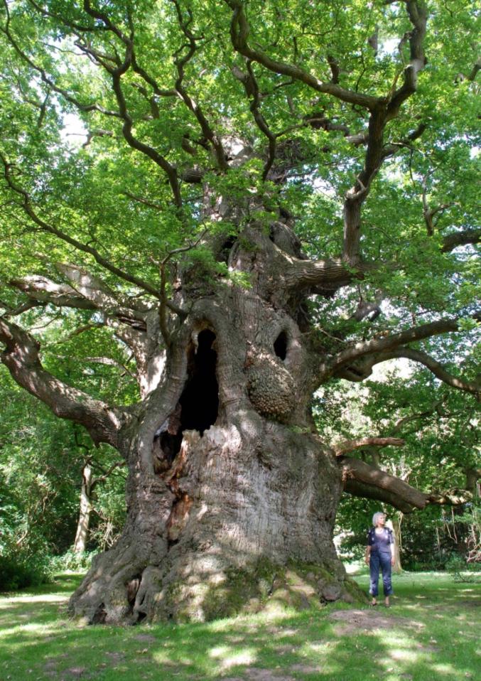 Reste cool, chêne.  source: https://www.monumentaltrees.com/fr/gbr/angleterre/kent/960_parcdefredville/1720/