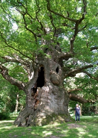Majesty Oak