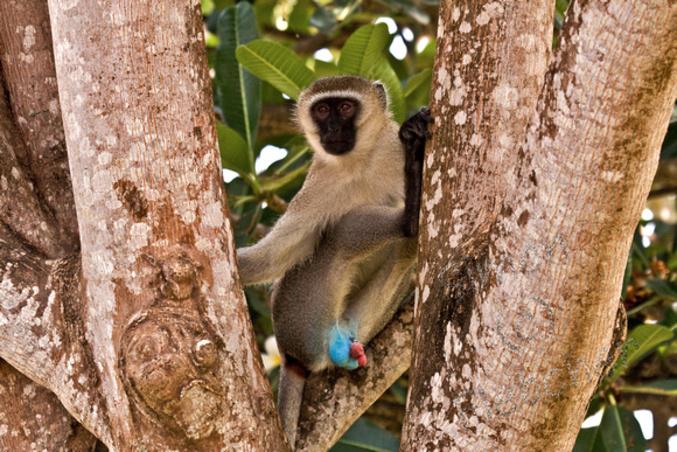 """Résultat de recherche d'images pour """"singes testicules bleus"""""""