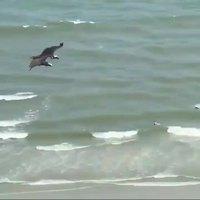 Ce requin a toujours rêvé de voler.