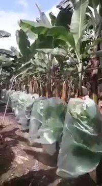 Défilé de bananes !