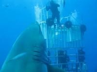 Le plus grand requin blanc jamais filmé
