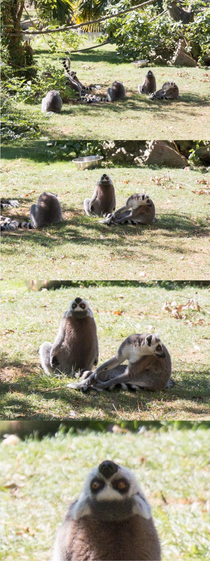 Le Maki catta (Lemur catta, aussi appelé Maki mococo, maki à queue annelée ou encore lémur à queue annelée) est un lémuriforme appartenant à la famille des lémuriens, il est le seul représentant du genre Lemur.
