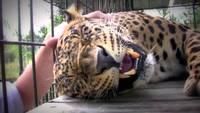 Un léopard qui ronronne