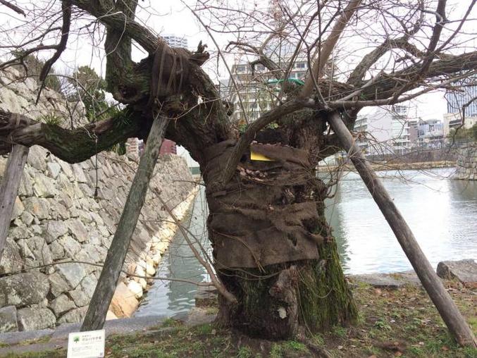 Cet arbre a survécu à la bombe d'Hiroshima. Il est situé à 750m du point d'impact de la bombe.