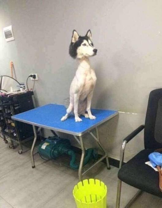 oopa ! un husky rasé sauf la tête, c'est poilant  XD