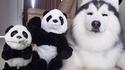 Où sont les pandas ?