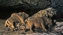 Bisons de la grotte du Tuc d'Audoubert