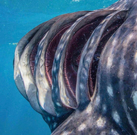 Les fentes branchiales d'un requin baleine