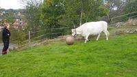 Une vache footballeuse