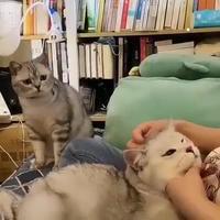 Un chat jaloux