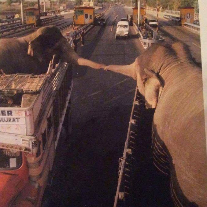 Deux éléphants domestiques se saluent au détour d'une route.