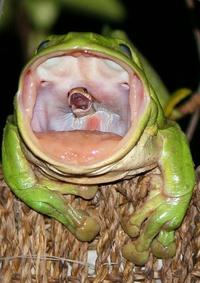La grenouille à grande bouche a bien grandi