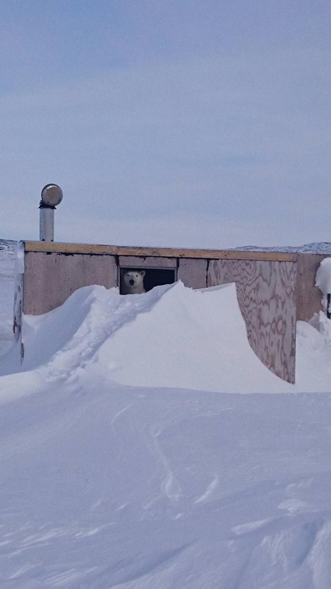 Alors que la température actuelle au Pôle Nord est d'une trentaine de degrés supérieure à la normale saisonnière, un ours polaire se cache dans une cabine à Inukjuak au Québec (photo de Linda Kasudluak).