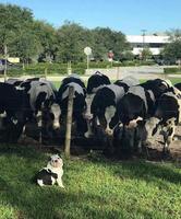 La vache sans tache qui tache