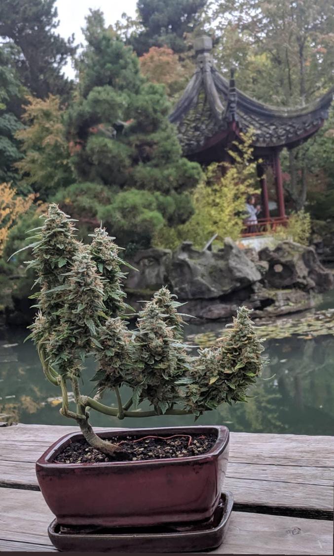 culture miniaturisante de végétaux
