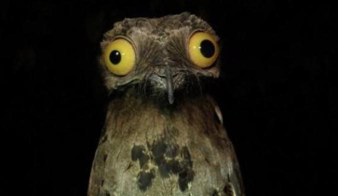 """""""L'Ibijau gris (Nyctibius griseus) est une espèce d'oiseaux de la famille des Nyctibiidae. C'est l'espèce de cette famille que l'on rencontre la plus communément. On la trouve en Amérique du Sud."""" -Wikipedia  Moi je trouve surtout que c'est un oiseau qui a l'air d'être défoncé en permanence! Plus de photos magiques de cet animal: http://www.vegactu.com/divers/lanimal-original/lanimal-original-de-la-semaine-libijau-gris-6963/"""