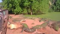 Crocodile malchanceux 2