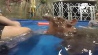 Un hippo glouton