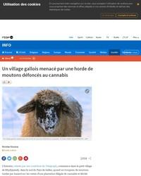Un village gallois menacé par une horde de moutons défoncés au cannabis (titre RTBF)