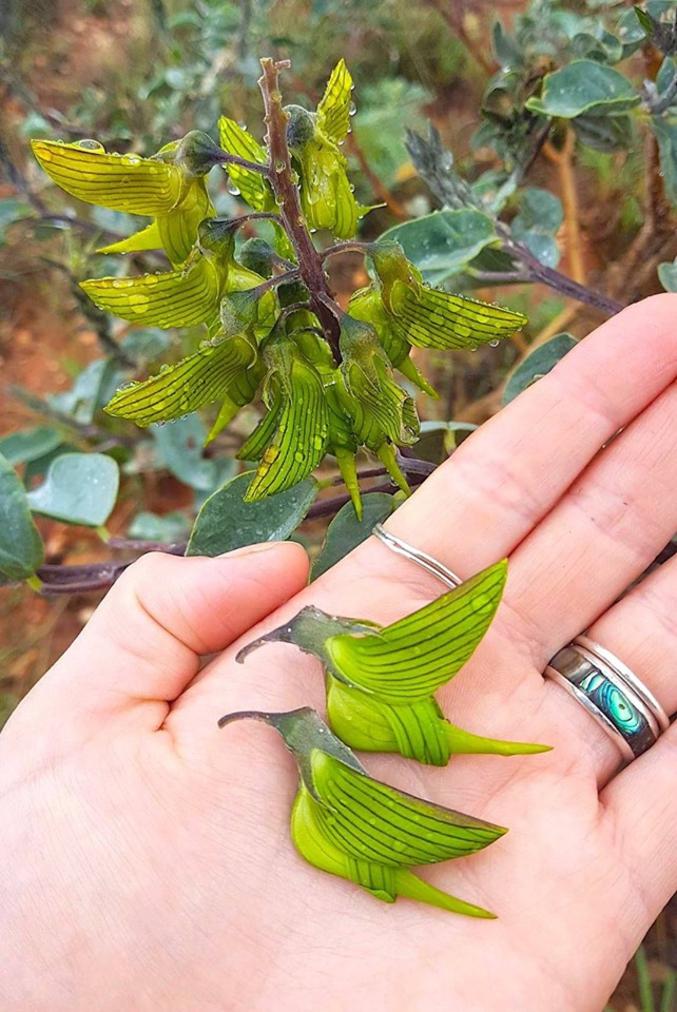 """Crotalaria cunninghamii. Cultivée dans les zones chaudes au nord de l'Australie, cette plante aux fleurs en """"forme de colibri"""" étonnera toujours par cette particularité."""