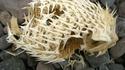 Le squelette d'un poisson porc-épic