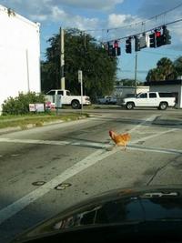 Pourquoi la poule traverse la route?