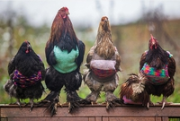Poule-over