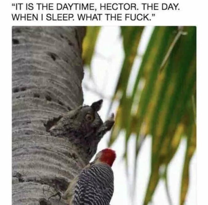 """""""Il fait jour là, Hector. Le JOUR. Quand je DORS. PUTAIN !"""" (Hector est un Red Head Woodpecker: Pivert à tête rouge)."""
