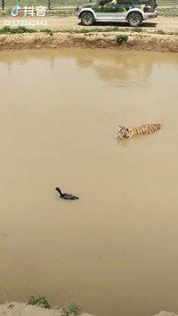 Attaque foudroyante d'un tigre